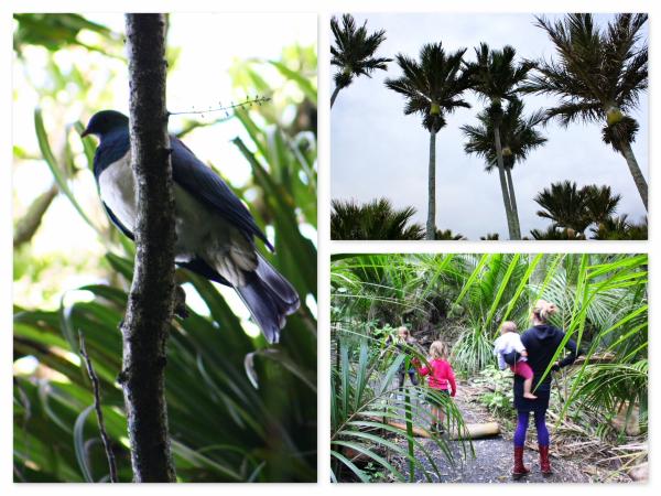 Kereru bird and Nikau palm - nature interconnected