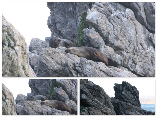 NZ Fur seals on south coast