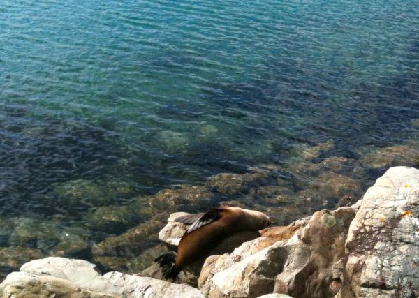 NZ Fur seal on Wellington waterfront