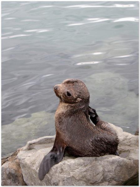 NZ Fur seal pup Wellington waterfront