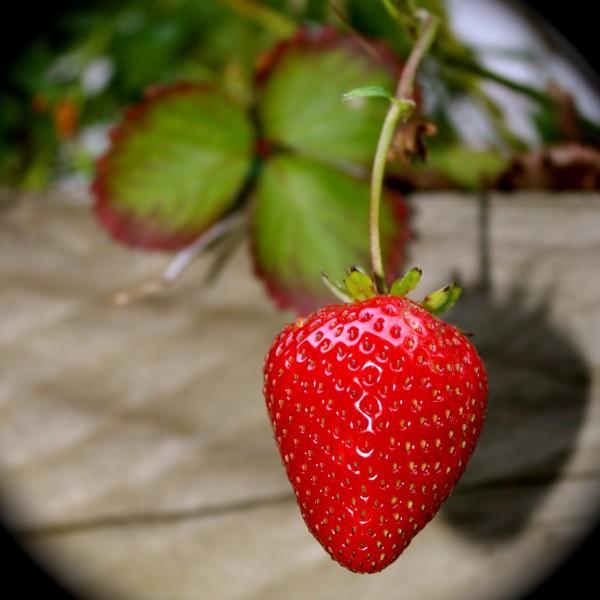 Last strawberries of autumn
