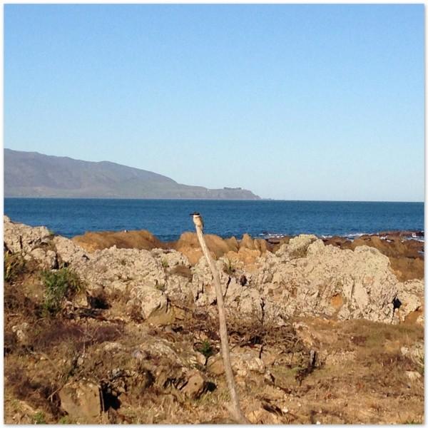 Kingfisher, Island Bay