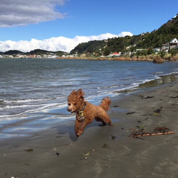 Super dog! Cocoa enjoying a run on the beach at Worser Bay, Wellington.