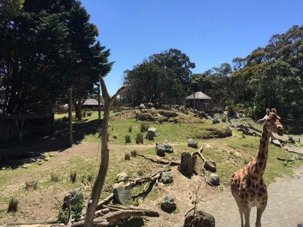 Graceful giraffes.